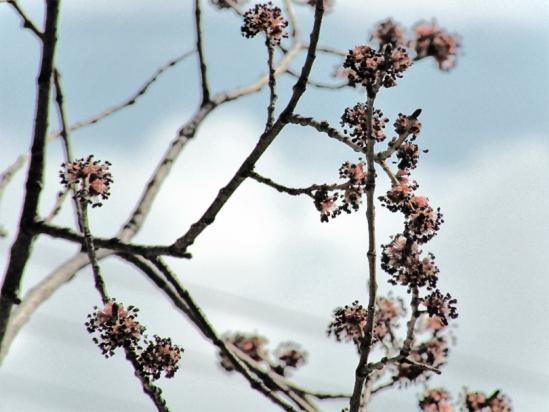 Leaf Buds-3