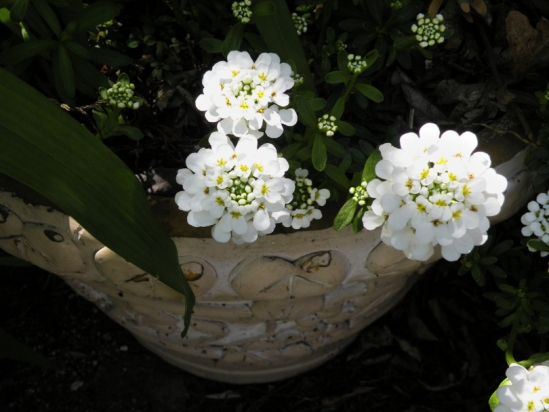 Potted White Blossoms