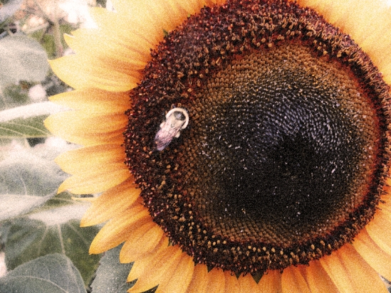 Bee on Sunflower-Diffuse Glow White BKGD